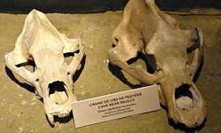 Cave Bear: Pleistocene Treasures from the Carpathians
