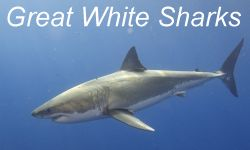 Great White Shark Facts and Information