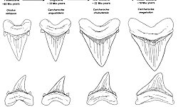 Megalodon Evolution - Research and Science