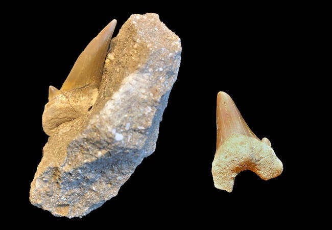 Why are there so many Moroccan Otodus teeth?