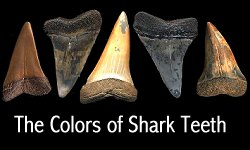 Shark teeth colors