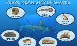 types of shark fossils