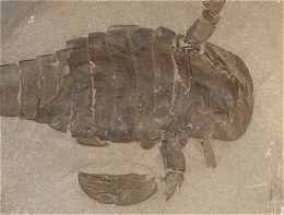 The Eurypterid Gallery