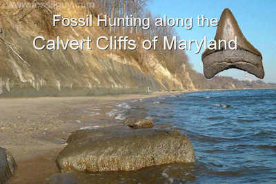 Fossil Hunting for Sharks teeth along the Calvert Cliffs