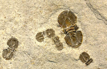 agnostid trilobite information