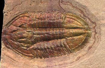 asaphiscus trilobite information
