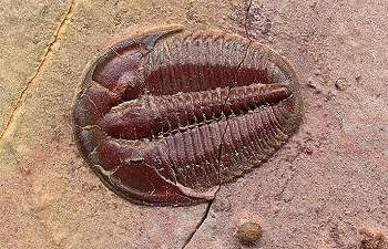 elrathia trilobite information