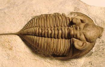 huntonia trilobite information