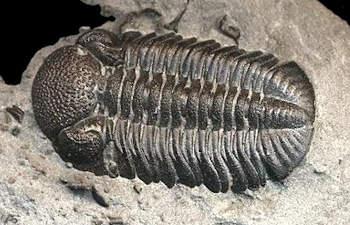 Eldredgeops (Phacops) trilobite information