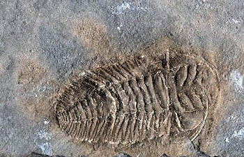 triarthrus trilobite information