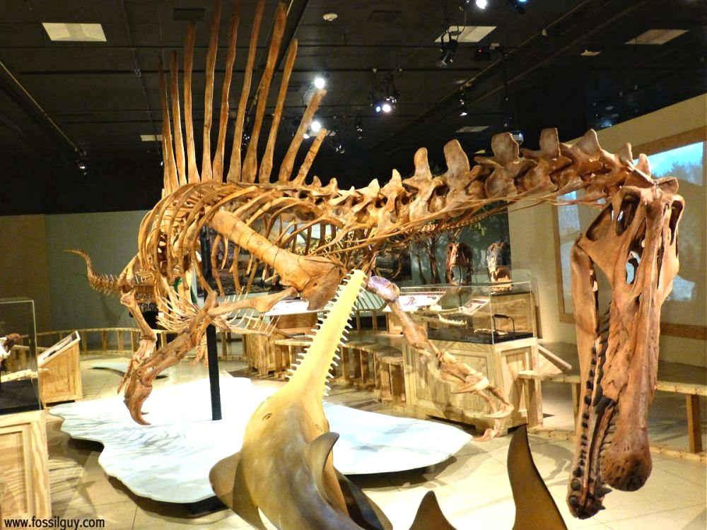 Spinosaurus Dinosaur Skeleton Fossil