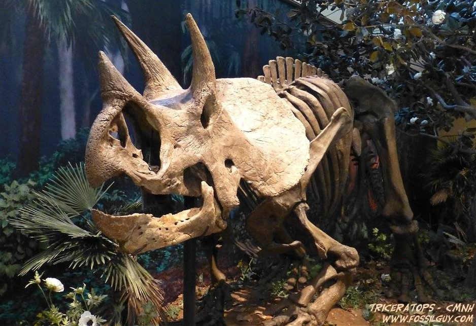Triceratops Dinosaur Skeleton Fossil
