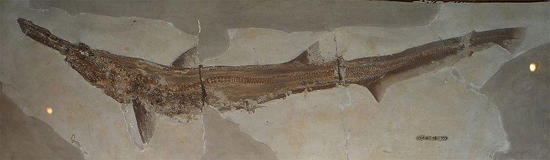 Fossilguy.com: Types of Shark Fossils: Parts of Sharks ...