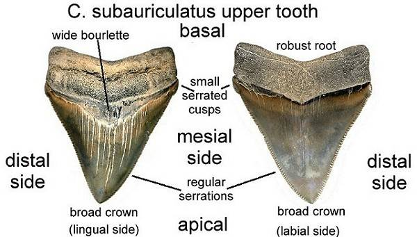 Carbon dating megalodon tooth surf