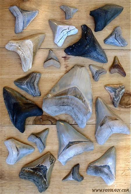 Carcarocles Megalodon Fossil Shark Teeth - Facts and Information
