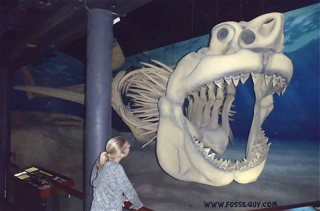 Megalodon Shark Skeleton