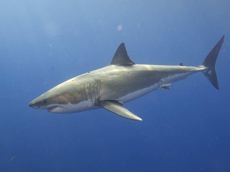 Great White Shark Clification | Fossilguy Com Great White Sharks And Extinct Giant White Sharks