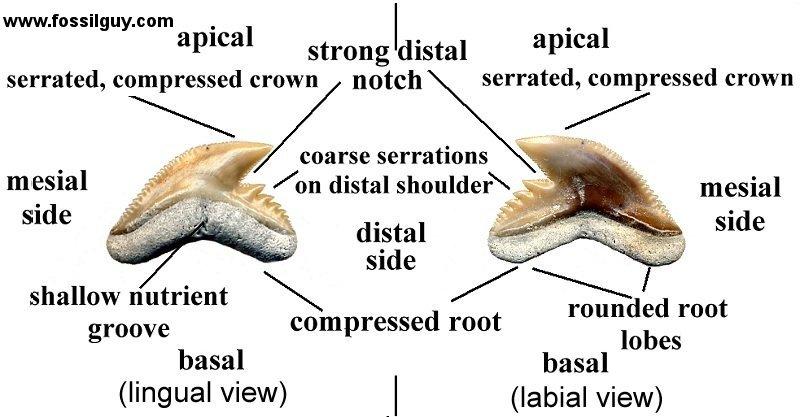 Diagram Of Leopard Teeth All Kind Of Wiring Diagrams