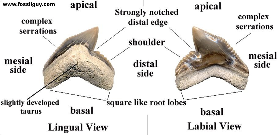 Fossilguy tiger shark facts and information galeocerdo cuvier tiger shark tooth identification ccuart Image collections