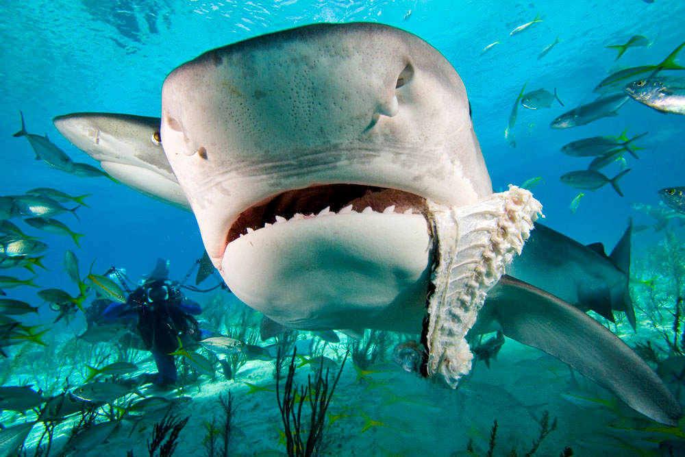 Fossilguy.com: Tiger Shark Facts and Information ...