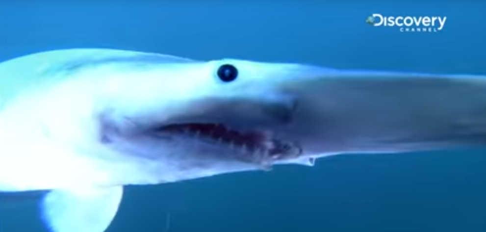 goblin shark facts and information: living goblin sharks and their fossil  ancestors: fossil goblin shark teeth: fossilguy com
