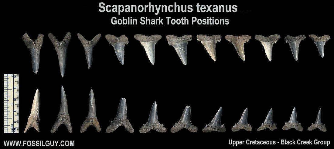 Scapanorhynchus - Wikipedia