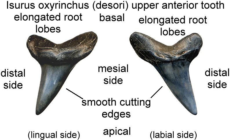 Lion Teeth Diagram