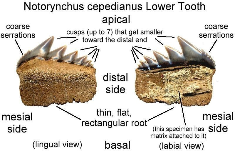 Fossilguy.com: Cow Shark Facts and Information: Notorynchus ...