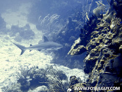 Diving with Reef Sharks