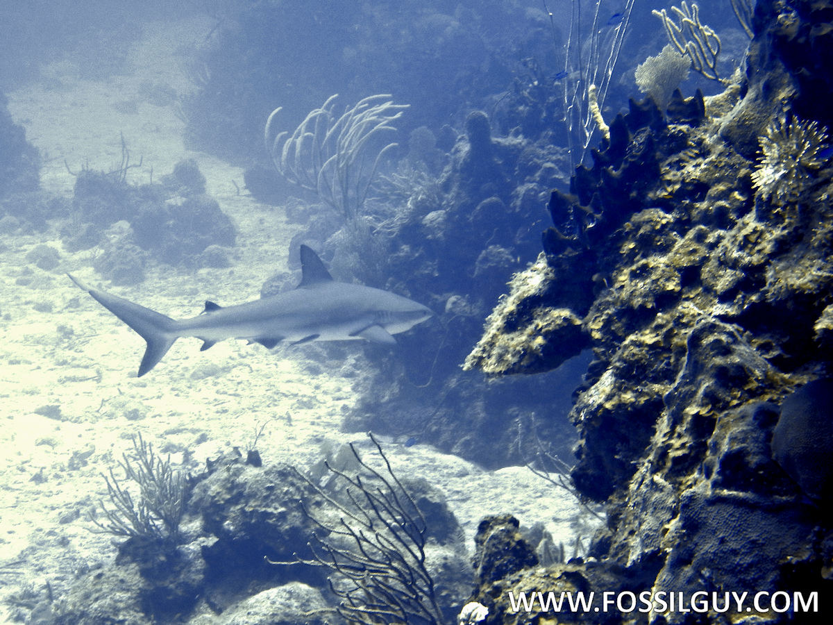 Are There Great White Sharks In The Virgin Islands