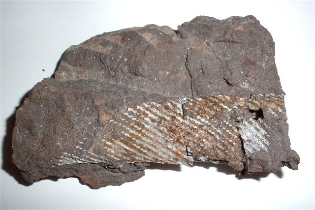 Fossil shark fin spine