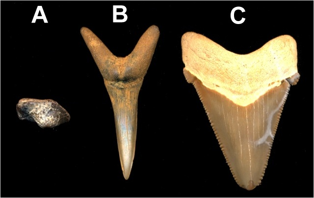 The three geneneral shark tooth designs: crushing, grasping, and cutting