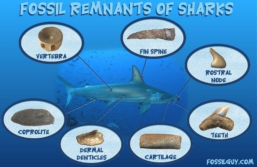 parts of sharks that fossilize - types of shark fossils