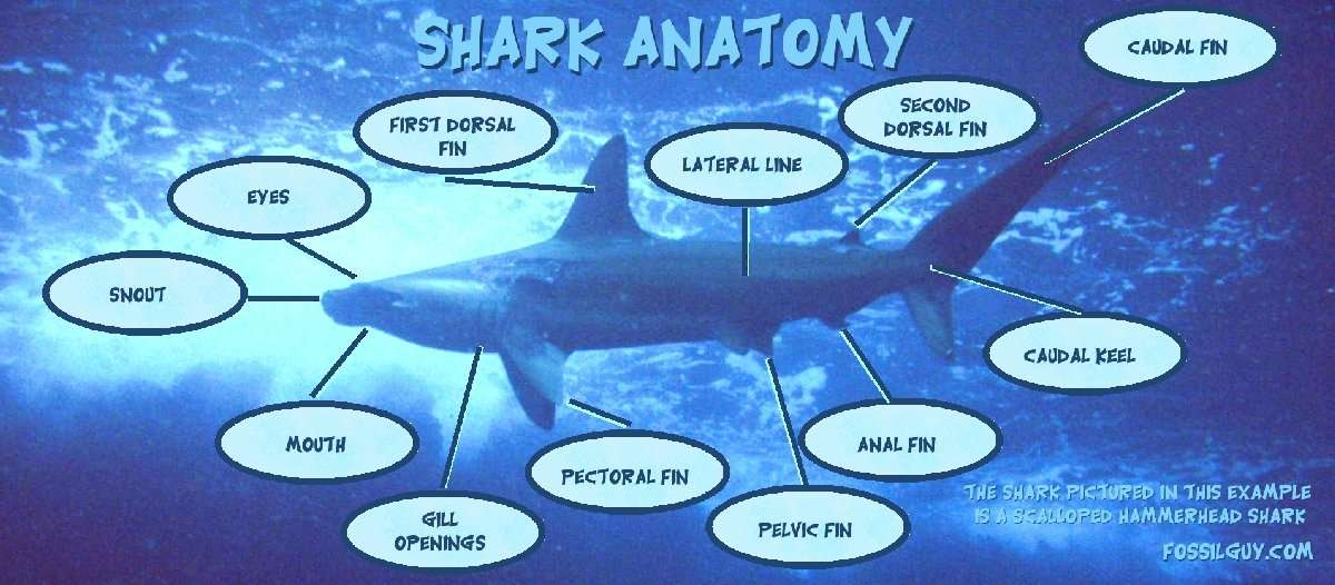 the main characteristics of the great white shark Scientists group things together into groups with similar characteristics lets look at what makes up the main groups down to the great white shark.