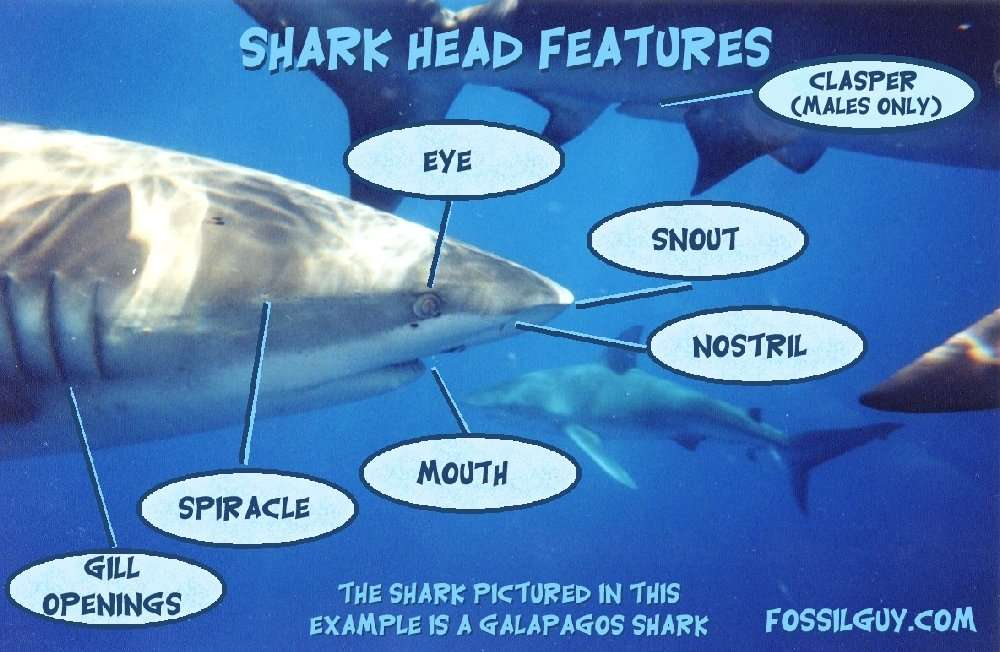 characteristics of sharks Physical characteristics the largest of the sharks, it is well proportioned and beautifully streamlined even with its large its gullet is small and limits the size of prey that it can swallow the whale shark is a filter feeder and its modified gill rakers can remove food particles from.