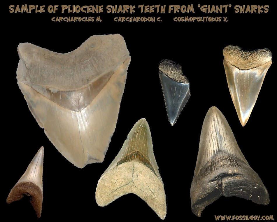 fossilguycom prehistoric sharks shark origins and
