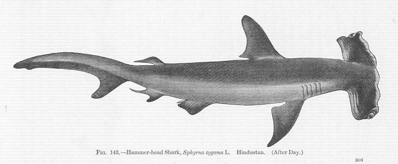 Hammerhead Shark Head | Fossilguy Com Hammerhead Sharks Facts And Information About