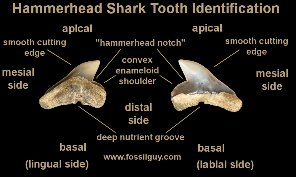 Great Hammerhead Shark Teeth