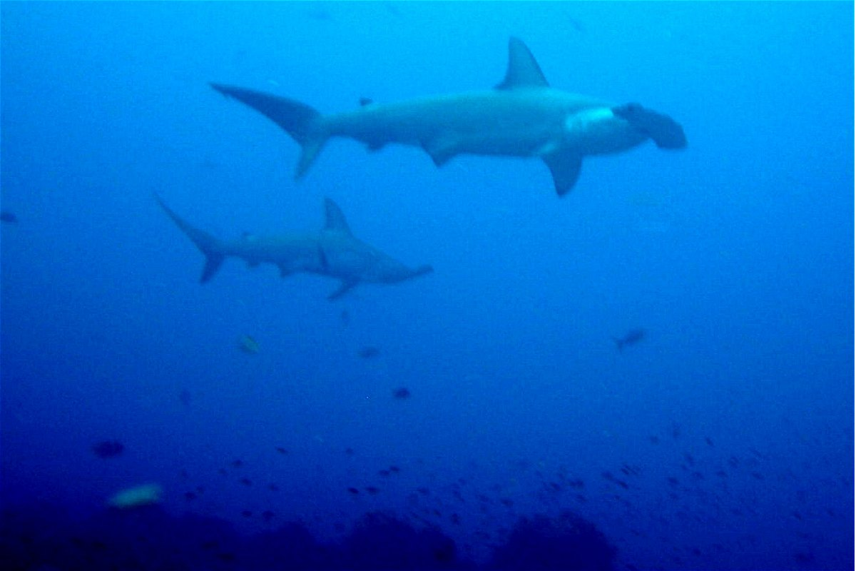 Fossilguy.com: Hammerhead Sharks - Facts and Information ...