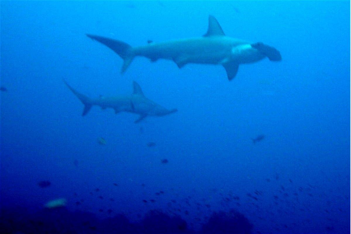 fossilguy com  hammerhead sharks