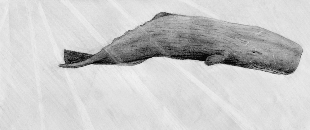 Sperm whale sketch drawing gallery #5