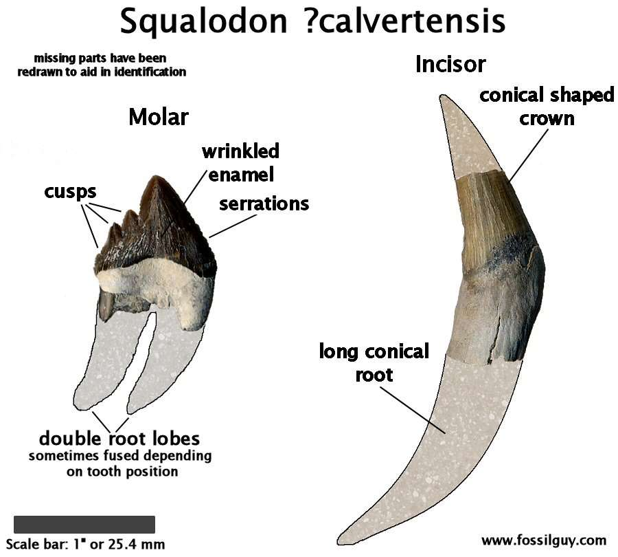 Fossil squalodon teeth - molar and incisor