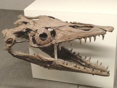 Platecarpus mosasaur skull