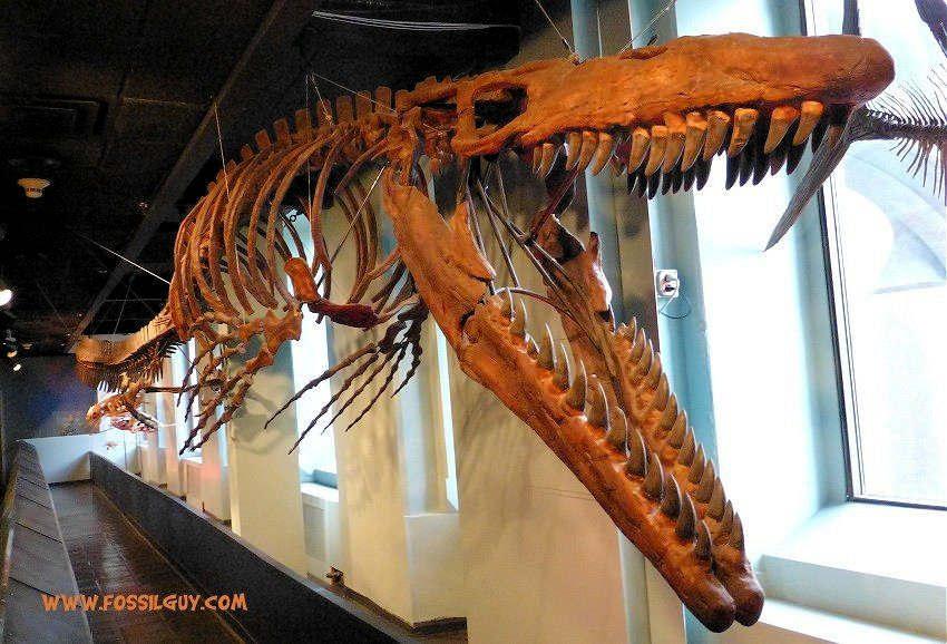 A ~40 foot long Mosasaur fossil skeleton - Tylosaurus proriger