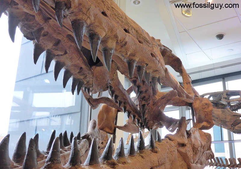fossilguy com  mosasaur facts and information