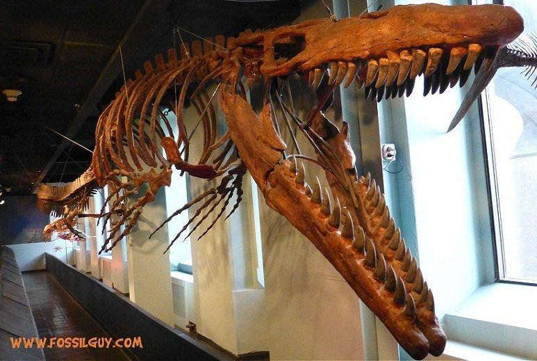 fossilguy com mosasaur facts and information the great marine reptiles of the cretaceous fossilguy com mosasaur facts and
