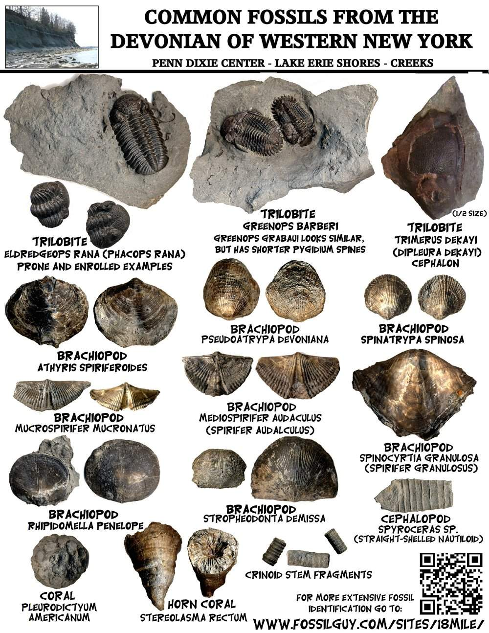 Fossil Identification Sheets New York Maryland Virginia New – Types of Fossils Worksheet