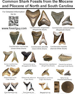Common Miocene And Pliocene Fossils Of North Carolina Identification Sheet
