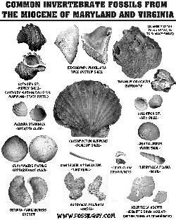 Calvert Cliffs Of Maryland Invertebrate Fossil Identification Sheet Miocene