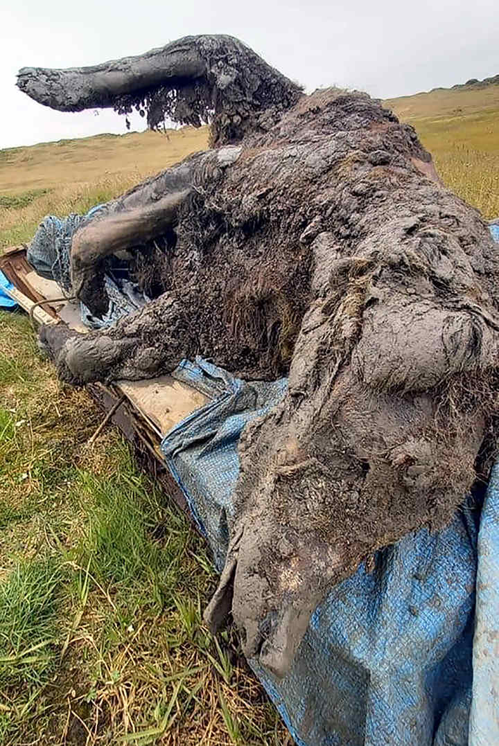 Image of the cave bear carcass found in the Siberian permafrost on Bolshoy Lyakhovsky Island. Image Credit: NEFU